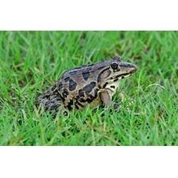 黑斑蛙_黑龙江黑斑蛙_农聚源图片