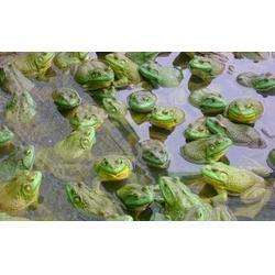 黑斑蛙养殖前景-农聚源生态农业(在线咨询)-宜昌黑斑蛙图片