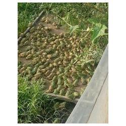 农聚源 (图)、黑斑蛙怎么养、黄石黑斑蛙图片