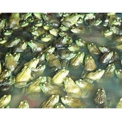 收购黑斑蛙_山西黑斑蛙_农聚源生态农业(查看)图片