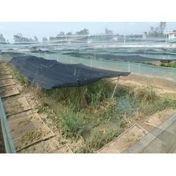 青蛙养殖成本-青蛙-农聚源泥鳅养殖(查看)图片