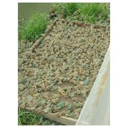 贵州黑斑蛙_农聚源青蛙养殖_黑斑蛙养殖加盟图片