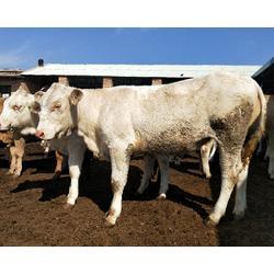 哪里卖小牛犊,富贵肉牛养殖(在线咨询),湖北小牛犊图片