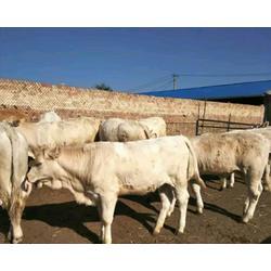 夏洛莱牛售价|山西夏洛莱牛|富贵肉牛养殖(查看)图片