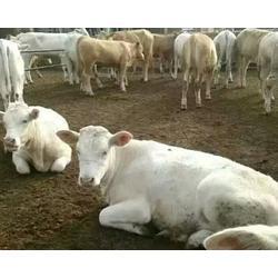 富贵肉牛养殖,夏洛莱牛肉牛犊,吉林肉牛犊图片