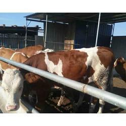 哪里西门塔尔牛好,富贵肉牛养殖,河南西门塔尔牛图片