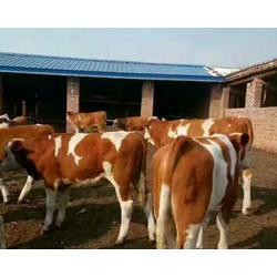 哪里卖西门塔尔牛|富贵肉牛养殖|贵州西门塔尔牛图片
