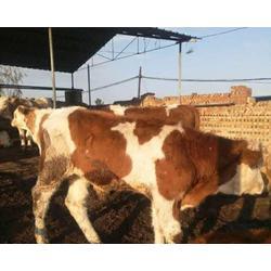 哪里有出售小肉牛的,湖南小肉牛,富贵肉牛养殖(查看)
