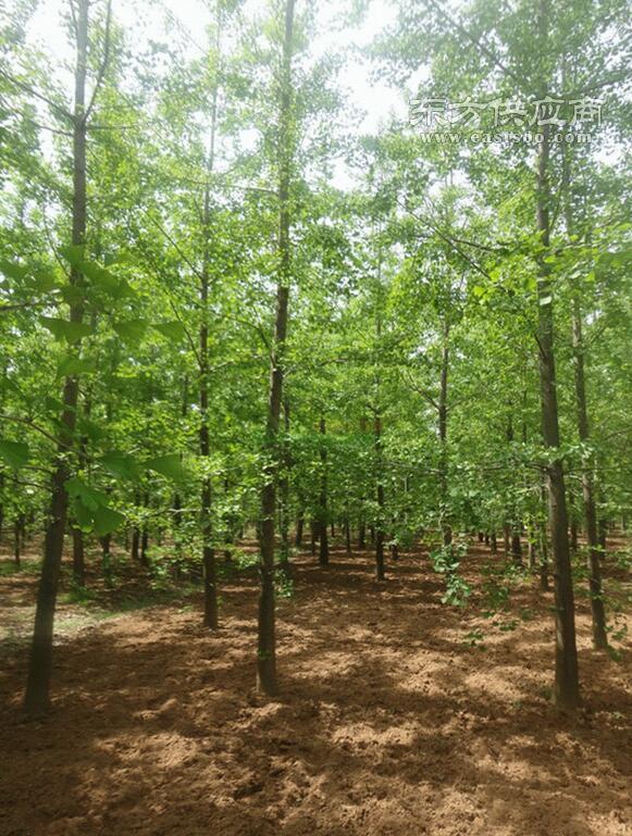银杏树、邳州胡氏银杏、米径28公分银杏树图片