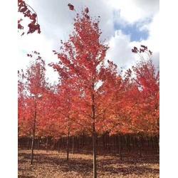 红枫-15公分红枫树-绿萌银杏(优质商家)图片