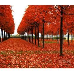 美国红枫-同盛银杏-12公分美国红枫图片