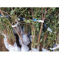 兔眼蓝莓苗报价 兔眼蓝莓苗 泰安开发区亿通园艺场