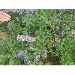 菏澤天后藍莓苗-天后藍莓苗報價-億通園藝(推薦商家)