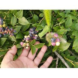 蓝宝石蓝莓苗-山东亿通园艺-蓝宝石蓝莓苗图片