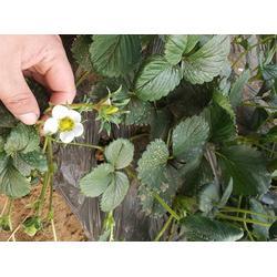 一代牛奶草莓苗、牛奶草莓苗、亿通园艺(图)图片
