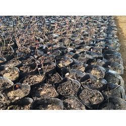 蓝莓苗什么品种好 邢台蓝莓苗 亿通园艺图片