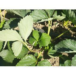 章姬草莓苗销售,章姬草莓苗,亿通园艺图片