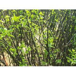 亿通园艺(图),花椒苗哪里的好,花椒苗图片