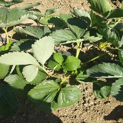 億通園藝(圖),牛奶草莓苗種苗,牛奶草莓苗圖片