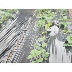 甜宝草莓苗基地,甜宝草莓苗,亿通园艺(查看)图片