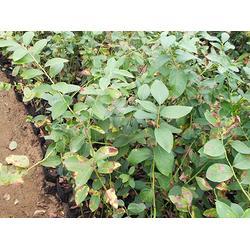 扦插蓝莓苗出售、扦插蓝莓苗、亿通园艺(图)图片