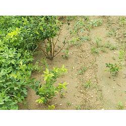 五年生蓝莓苗价_五年生蓝莓苗_亿通园艺(查看)