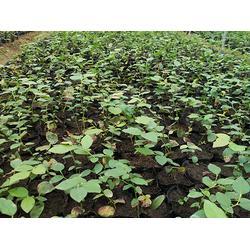 泰安亿通园艺(多图)_天后蓝莓苗_海南天后蓝莓苗图片