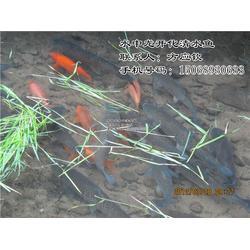 清水鱼-开化清水鱼余味无穷-清水鱼介绍图片