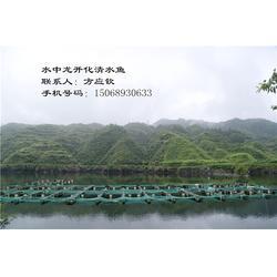 清水魚養殖技術-水中龍開化清水魚(在線咨詢)-清水魚圖片
