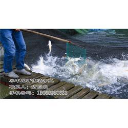 开化清水鱼余味无穷 清水鱼酒店供应-清水鱼图片