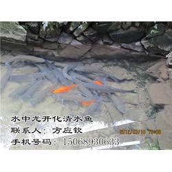 清水鱼酒店供应 开化清水鱼肉质鲜美 清水鱼