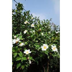 野生山茶油保存-中山野生山茶油-绿达山茶油图片