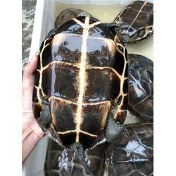清溪保健龟配送,保健龟,塘厦保健龟配送图片