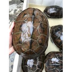 保健龟,樟木头保健龟配送,寮步保健龟配送图片