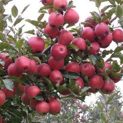 矮化苹果苗-聊城矮化苹果苗-泰安开发区双湖园艺场(查看)