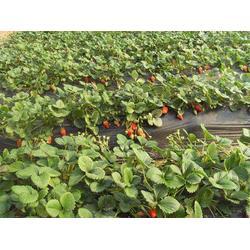 故城红颜草莓苗 双湖园艺(在线咨询) 红颜草莓苗图片