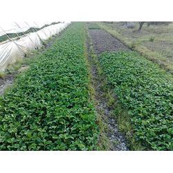 奶油草莓苗基地-南宮奶油草莓苗-雙湖園藝圖片