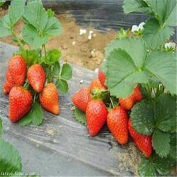 双湖果树苗、乌海草莓苗、日本99草莓苗图片