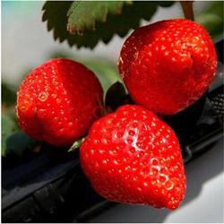 法兰地草莓苗基地_漳州法兰地草莓苗_双湖园艺(图)图片