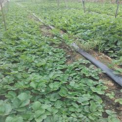 双湖园艺|滨州草莓苗|甜宝草莓苗批发