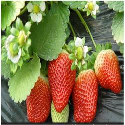 济宁草莓苗、双湖园艺、甜宝草莓苗批发