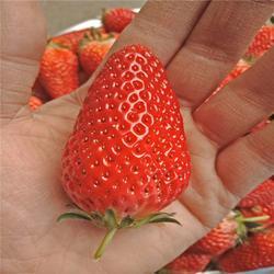白雪公主草莓苗|贵州草莓苗|双湖园艺图片