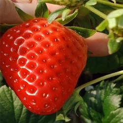 双湖园艺_商丘法兰地草莓苗_法兰地草莓苗市场图片