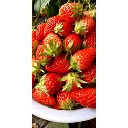 四川草莓苗_莓宝草莓苗_双湖果树苗图片
