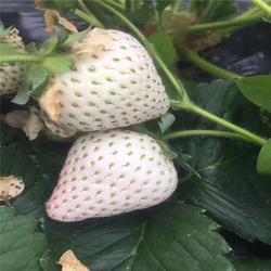 双湖园艺-鹤岗草莓苗-甜查理草莓苗图片