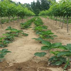 铜陵法兰地草莓苗、双湖园艺、法兰地草莓苗管理方法图片