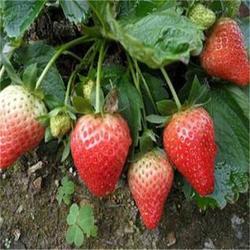 明宝草莓苗、镇江草莓苗、双湖果树苗(查看)图片