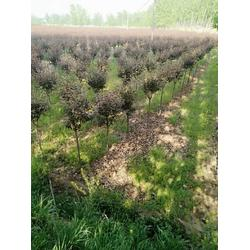 绿化树北美海棠产地65418图片