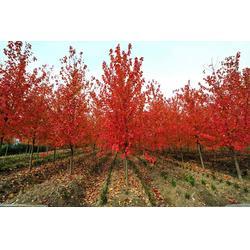 小区红枫,娄底小区红枫,泰山区亿发园林图片