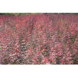 10公分红枫|天津10公分红枫|亿发园林(查看)